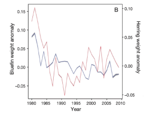 Fig. 5: In this figure, tuna weight anomalies (blue) are plotted alongside herring weight anomalies (red) over time. Here bluefin tuna weights are decreasing similarly to individual herring weights.