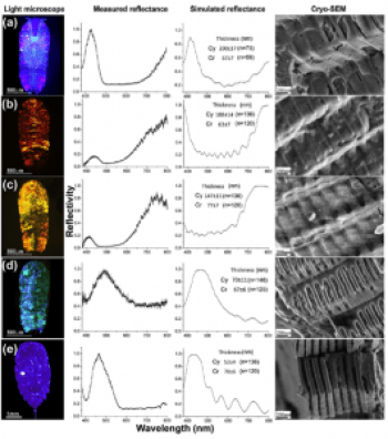 Figure 2: Light microscope photograph, measured reflectance, simulated reflectance and cryo-SEM images for S. metallina (a-d) and C. mirabilis (e).  Cy=cytoplasm, Cr=crystal.  From: Gur et al., 2015.