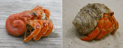 Figure 1 - Hermit crab without and with a shell