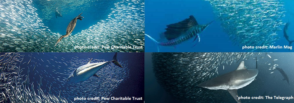 Big fishing on important little fish oceanbites figure 1 clockwise from top left seabirds sailfish sharks and tuna publicscrutiny Image collections