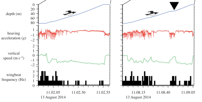 Figure 3 – Changes in the murre's diving behavior with and without a jellyfish. The feeding event is marked with the black triangle – notice that the acceleration (red line) and velocity (green line) both decrease as the bird pauses to feed.