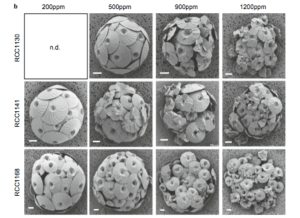 Figure 2: Sampled coccolithophores with increasing acidity (from 200 ppm to 1200 ppm). RCC1130 and RCC1141 indicate strains of C. leptoporus while RCC1168 is the C. quadriperforatus strain. (Diner et al., 2015)