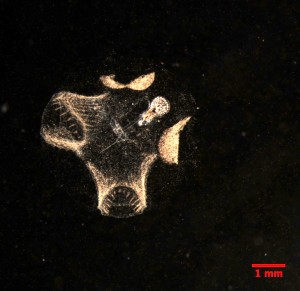 Figure 1 Image of an appendicularian taken with an in situ microscope off the coast of California. The head is the oval pointing toward the top right corner of the image. The tail is the long, thin line pointing back from the head. The rest of the material is the goo-house the appendicularian uses to capture food. All the little dots are bits of carbon rich particles it has picked up. (Scripps Plankton Camera; spc.ucsd.edu)