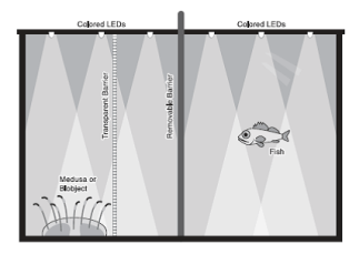 """Figure 4: The experimental set up. A fish is placed in the tank with either a real jellyfish (or """"medusa""""), a fake jellyfish (or """"blobject""""), or an empty tank- separated by a transparent barrier."""