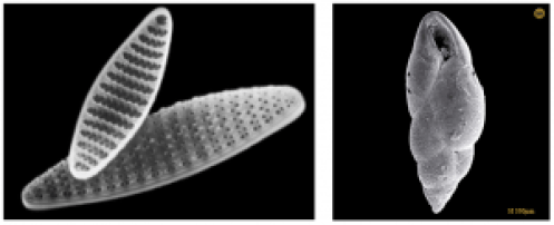 Figure 2. Scanning electron microscope images of left: Fragilariopsis kerguelensis. This diatom species lives in the open ocean waters of the Antarctic Circumpolar Current. (Photo by F. Hinz, http://www.awi.de/en/news/background/species_of_the_month/august/) Right: Fursenkoina fursiformis. This foraminifera species is found at the seafloor beneath waters where there is high primary productivity and export of organic carbon. (www.foraminifera.eu)