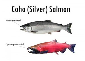"Figure 1 – Adult Coho salmon are silver when in the ocean, but undergo metamorphosis when they migrate into freshwater to spawn, turning redder in color and displaying a large hooked nose known as the ""kype"". The genus name of Pacific salmon, Oncorhynchus comes from the Greek words Onkos and rynchos meaning hook and nose, respectively. (from adfg.alaska.gov)"