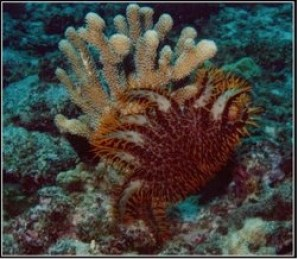 Figure 4 – A crown of thorns starfish (dark orange) devouring a coral in the Great Barrier Reef system.