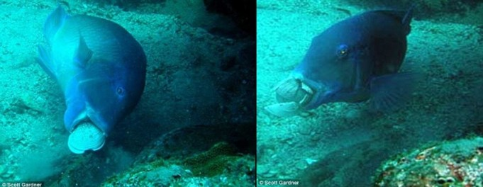 Figure 2 - A blackspot tuskfish slams a clam into a rock on both sides to crack it open. Photo credit: Scott Gardner – published in Coral Reefs, 30:865 DOI: 0.1007/s00338-011-0790-y (Open Access).
