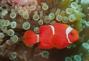 Fig. 3: Premnas biaculeatus,  an anemonefish and the focal point of this study. (Photo: wikimarino.com)