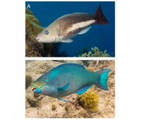 Figure 3: Parrotfishes' sex changes is marked by obvious differences in coloration. A) an initial phase queen parrotfish (female) and B) a terminal phase queen parrotfish (male)
