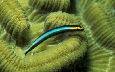 "The conspicuous colouration of many cleaner fishes, like this Caribbean cleaner goby (Elacatinus evelynae), is an example of convergent evolution – many species developing similar features independently. This simplifies the ""cleaner fish"" signal, and facilitates the cleaner-client relationship. [Wikimedia]"