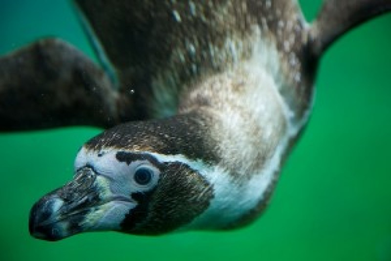 Humboldt Penguin (Image Credit: Aurelien Guichard from London, United Kingdom)