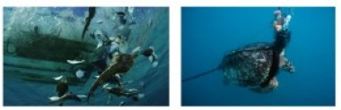 Figure 4: Left- Bycatch from the Gulf of California being thrown overboard including fishes, rays and guitarfishes (a shark relative). Image taken by Brian J. Skerry, National Geographic Stock, from WWF.org (http://www.worldwildlife.org/media?threat_id=bycatch) and Right- a sea turtle caught in a fishing net is just another form of bycatch (image from seafoodwatch.org- http://www.seafoodwatch.org/ocean-issues/wild-seafood/bycatch)