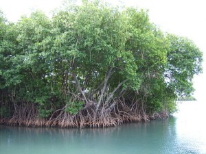 https://en.wikipedia.org/wiki/Ecological_values_of_mangroves