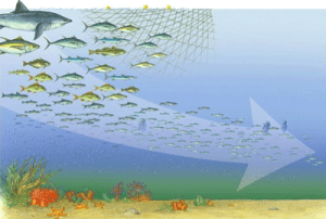 Figure 2: This graphic shows how we fish down the food web, preferentially picking off large, apex predators (like the sharks) first and keep moving towards the smaller fishes after we have removed the larger fish from the ecosystem (image from fishingdown.org)