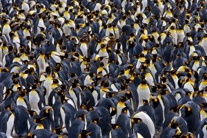 Fig. 4: King penguin colony in South Georgia (https://travelwild.com/resources/antarctica-wildlife/king-penguin/).