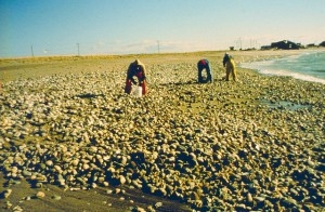 Dead surf clams washed up after an oil spill. Rhode Island, Bristol County. Circa, January 1996. Credit: NOAA Damage Assessment and Restoration Program.