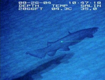 A frilled shark, the same species used in the header image. This is the first footage of the species in its natural habitat on the Blake Plateau of Georgia, USA. [Wikimedia Commons]