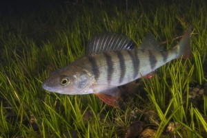 Fig. 3: The Eurasian Perch, the focal species for this study (