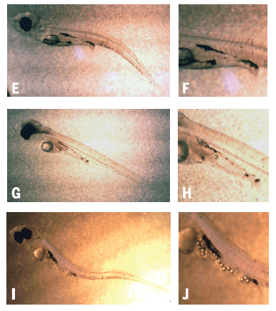 Fig. 6: Photos E and F show larvae unexposed to microplastics, G and H show larvae exposed to an average concentration of microplastics, and I and J show larvae exposed to a high concentration of microplastics. In photos G-J, small, clear circles are microplastic! Fish shown in I and J have clearly ingested a lot of it.