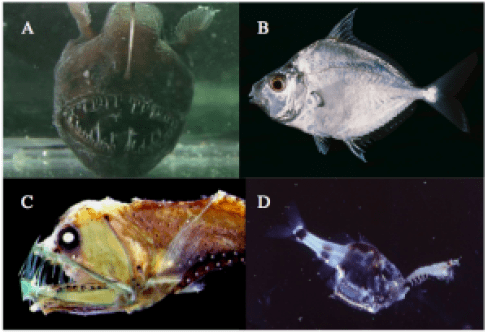 Figure 2: A. Anglerfish, By Javontaevious at English Wikipedia, CC BY-SA 3.0, https://commons.wikimedia.org/w/index.php?curid=37002424; B. Ponyfish, By Randall, JE at fishbase.org, CC BY-SA 3.0, http://www.fishbase.org/Photos/PicturesSummary.php?id=4451&picname=Leequ_u1.jpg&what=species; C. Dragonfish, CC BY-SA 3.0, https://commons.wikimedia.org/w/index.php?curid=1152885; D. Hatchetfish, CC BY-SA 3.0, https://commons.wikimedia.org/w/index.php?curid=1152905