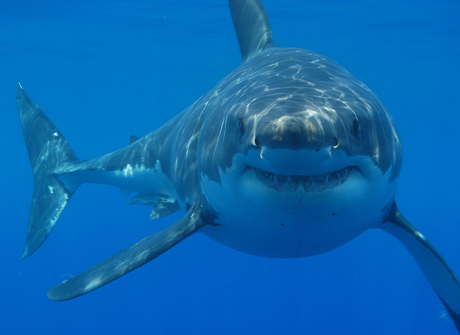 Figure 1 - The Great White Shark, the star of Discovery Channel's Shark Week