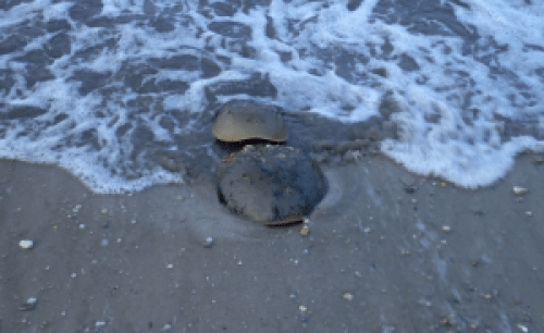 A horseshoe crab pair (female in the front, male clinging on in the back--note the higher arch of the male's shell--this allows him to 'fit' tightly onto the female's back). Image Credit: Megan Chen