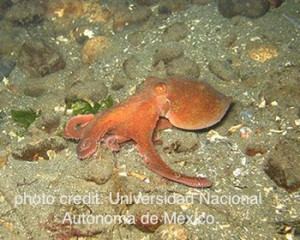 Figure 2: Octopus maya. (Photo: Universidad Nacional Autonoma de México) http://fis.com/fis/worldnews/worldnews.asp?l=e&id=63647&ndb=1