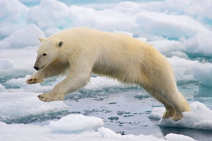Fig. 1. Polar Bear (climate change refugee). Source: Wikimedia Commons, Author Arturo de Frias Marques.