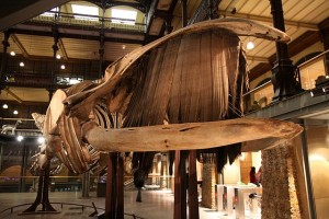The skeleton of a right whale, a species related to the bowhead whale, with the baleen shown [Wikimedia Commons].