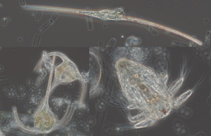 Marine microorganism called a dinoflagellate (top), two marine dinoflagellates (bottom right), and a marine microorganism known as a copepod (bottom left). Note photo are not to scale. Photo credits Austin Grubb.
