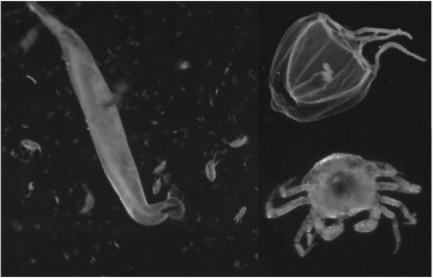Figure 3b: Example images isolated by the BVPR: chaetognath surrounded by smaller copepods (left), a juvenile jellyfish with a copepod inside (top right), and a crab megalopa (bottom right).
