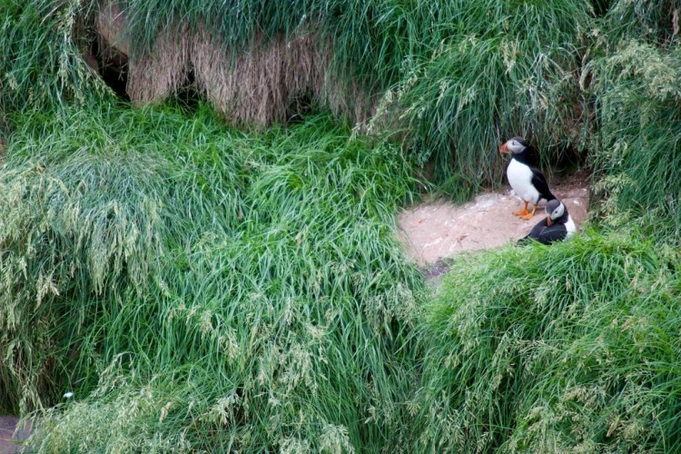 Puffin breeding pair stands outside burrow on island off Newfoundland coast. Credit: Zoe Gentes