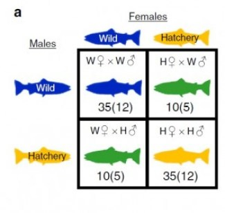 Wild (W) and first-generation hatchery (H) fish were crossed to produce purebred (WxW or HxH) and hybrid (WxH or HxW) offspring. Numbers represent the total number of individuals, and families (in brackets) used in the study. Adapted from Christie et al., 2016.