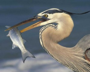 Figure 4: Great blue heron populations where estimate d to decline by 23% due to changes in fish populations causes by geoduck aquaculture. Credit: Audubon http://www.audubon.org/sites/default/files/Great_Blue_Heron_m17-57-218_l_0.jpg