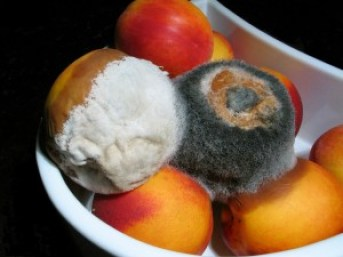 Mycotoxins are synthesized from fungi, like that which is growing on these peaches (source: https://en.wikipedia.org/wiki/Mold_health_issues)