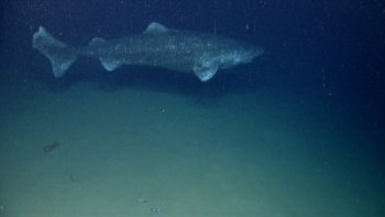 Greenland shark, viewed at ~800 m below sea level [NOAA Photo library]