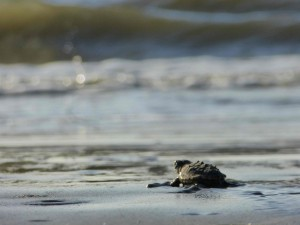 Fig. 7. One More Step. Sea turtle hatchling headed toward the vast ocean. Source: Wikimedia Commons