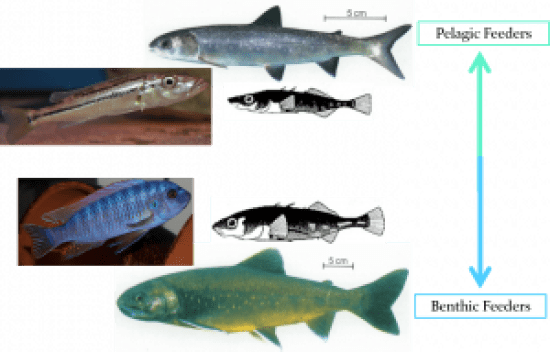 Benthic and pelagic species or forms of various types of fish, including cichlids.