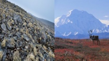 Figure 5. On the left: Lichens are visible on a small patch of exposed rock on the Antarctic Peninsula. (Source: atacamaphoto.com) On the right: The Tundra is full of vegetation and large animals. (Source: sites.google.com)