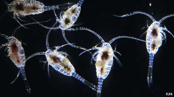 Fig. 4: Zooplankton, like these copepods, are an important part of the food web. These small animals will eat phytoplankton and ice algae, helping to transfer energy to the rest of the of the food web (Photo: The Economist).
