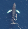 Figure 2: A humpback whale swims with her calf. Image from Pitman et al., 2017- taken by M. Lynn, NOAA Southwest Fisheries Science Center