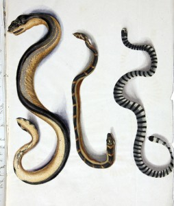 There are 14 species of sea snakes in the Great Barrier Reef ecosystem [Wikimedia].