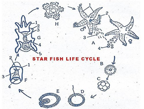 The whirling world of starfish larvae whorls oceanbites for Fish life cycle