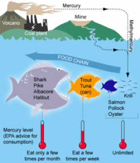 Figure 2: An example of how mercury moves up the food chain. (Source: Bretwood Higman, http://www.groundtruthtrekking.org)