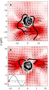 Figure 3: Flow patterns calculated around P. polylepis (top) and P. parvum (bottom) (source: Dölger et al., 2017)