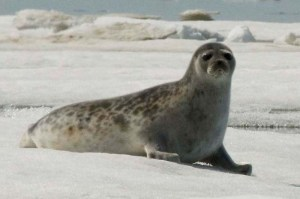 Fig. 1. Ringed Seal (Pusa hispida). Source: NOAA Seal Survey, public domain, via Wikimedia Commons. (https://commons.wikimedia.org/wiki/File:Pusa_hispida_hispida_NOAA_1.jpg)