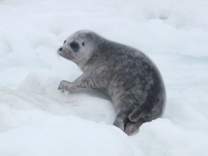 Fig. 4: Ringed seal pup. Author: Shawn Dahle, NOAA, Polar Ecosystems Program research cruise. Source: Public Domain, Wikimedia Commons. https://commons.wikimedia.org/wiki/File:Pusa_hispida_pup.jpg