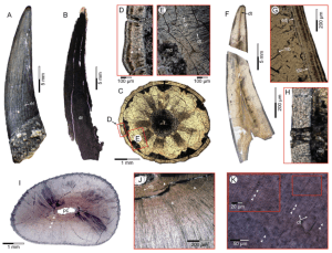Figure 3: Scanisaurus tooth sections taken from multiple samples. Teeth were mounted in epoxy and sectioned into narrow slices. The white arrows in K highlight the growth rings, also known as the incremental growth lines of von Ebner. Taken from Kear et al. (2017).