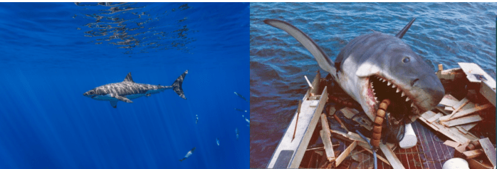 "Great white shark (Carcharodon carcharias) in its natural habitat (left), compared to ""Bruce"", the great white shark from the movie Jaws (right). This image is a great contrast of truth vs. fiction, demonstrating how sharks are portrayed as aggressive animals in media and film rather than as peaceful swimmers in the wild. Photo credit: George T. Probst and Universal Studios"